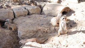 Group of meerkats funny suricates stock footage