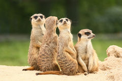 Group of  meerkats on the green background Stock Photos