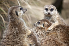 A Group of Meerkats Royalty Free Stock Image