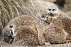 A group of Meerkats Stock Photography