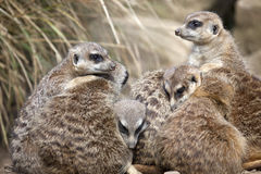 A group of Meerkats Stock Image