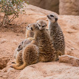 Group of meerkats hugging Stock Photography