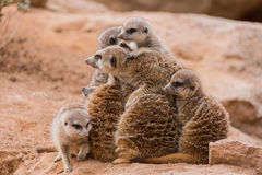 Group of meerkats looking like pyramid Royalty Free Stock Photography