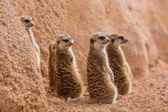Group of meerkats looking one way. Group of meerkats. Photo taken in the zoo Royalty Free Stock Photo