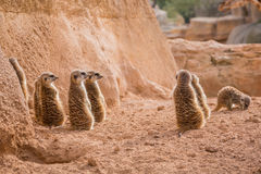 Group of meerkats looking one way Stock Image