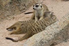 Group of meerkats Stock Photography
