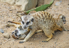 Group of meerkats royalty free stock photography