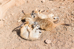 Group of meerkats Royalty Free Stock Image