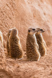 Group of meerkats sitting Royalty Free Stock Photo