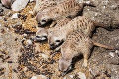 Group of Meerkats - Suricata suricatta - are fed insect, animal Stock Photo