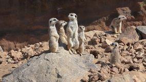 Group of meerkats (Suricata suricatta) stock video footage