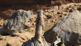 Group of meerkats (Suricata suricatta) stock video