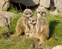 Group of meerkats Royalty Free Stock Photo