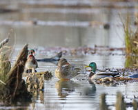 Group Meeting. A pair of mallards and a wood duck in a pond Stock Images