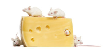 Group of mice around a big piece of cheese Royalty Free Stock Image
