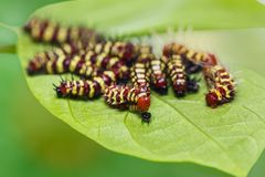 Group of middle instar Leopard Lacewing Cethosia cyane caterpi. Llars on their host plant leaf focusing on new molting caterpillar royalty free stock photo