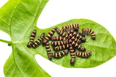 Group of middle instar Leopard Lacewing Cethosia cyane caterpi. Llars on its host plant leaf, isolated on white background with clipping path stock images