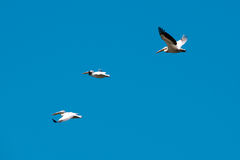 Group of migrating pelicans leaving the Danube Delta Stock Photography