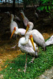Group of milky stork Royalty Free Stock Images