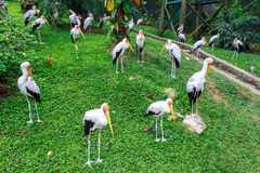 Group of milky stork Royalty Free Stock Image