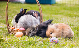 Group of mini rabbit on in basket with basket easter eggs Royalty Free Stock Images