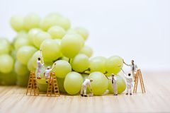 Group of miniature people washing bunch of white grape Stock Image