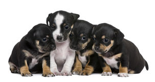Group of mixed-breed puppies, 1 month old Royalty Free Stock Photography