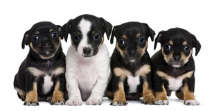 Group of mixed-breed puppies, 1 month old Stock Image