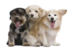 Group of mixed-breeds Stock Photography