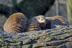 Group of mongoose Stock Photography