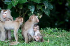 Group of monkey Royalty Free Stock Image