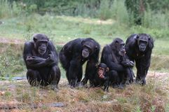 Group of monkeys Royalty Free Stock Image