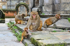Group of monkeys Royalty Free Stock Images