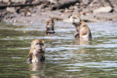 Group of monkeys bathing Royalty Free Stock Photos