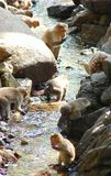 A Group of Monkeys - Bonnet Macaques - Drinking and Playing with Water of a Stream Stock Photography