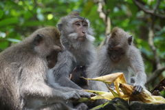 Group of Monkeys feeding, Ubud , Indonesia. Ubud Monkey Forest is a small rain forest dwelt by some group of monkeys and other tropical animals Stock Photos