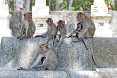Group of monkeys at Ku Phra Kona Temple in Roi Et province, Northeastern Thailand.  Stock Images