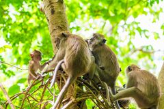 A group of monkeys munching on a tree. In Asia royalty free stock photo