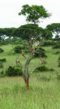Group of monkeys resting on a big tree on the savanna background in the park Murchison Falls Royalty Free Stock Photography