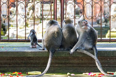 Group of monkeys sitting back to camera Stock Images