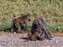 Group of monkeys sitting in the grass Royalty Free Stock Photo