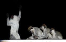 Group of monkeys sitting in a row close to each other like singe. The Group of monkeys sitting in a row close to each other like singer and fans isolated on Royalty Free Stock Photos