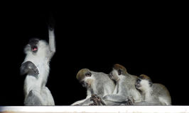 Group of monkeys sitting in a row close to each other like singe. The Group of monkeys sitting in a row close to each other like singer and his fans isolated on Royalty Free Stock Photography