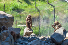 Group of monkeys in the Tbilisi zoo Stock Photos