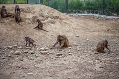 Group of monkeys in the Tbilisi zoo Stock Photography
