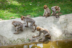 Group of monkeys in the Tbilisi zoo Royalty Free Stock Photo