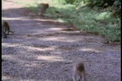Group of monkeys walking on gravel path stock footage