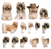 Group montage of shih Tzu, 3 years old. Against white background stock photos