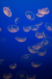 Group of Moon Jellyfish Royalty Free Stock Photos