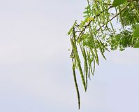 Group of Moringa on branch tree with blue sky background. Close up Group of Moringa on branch tree with blue sky background stock photo